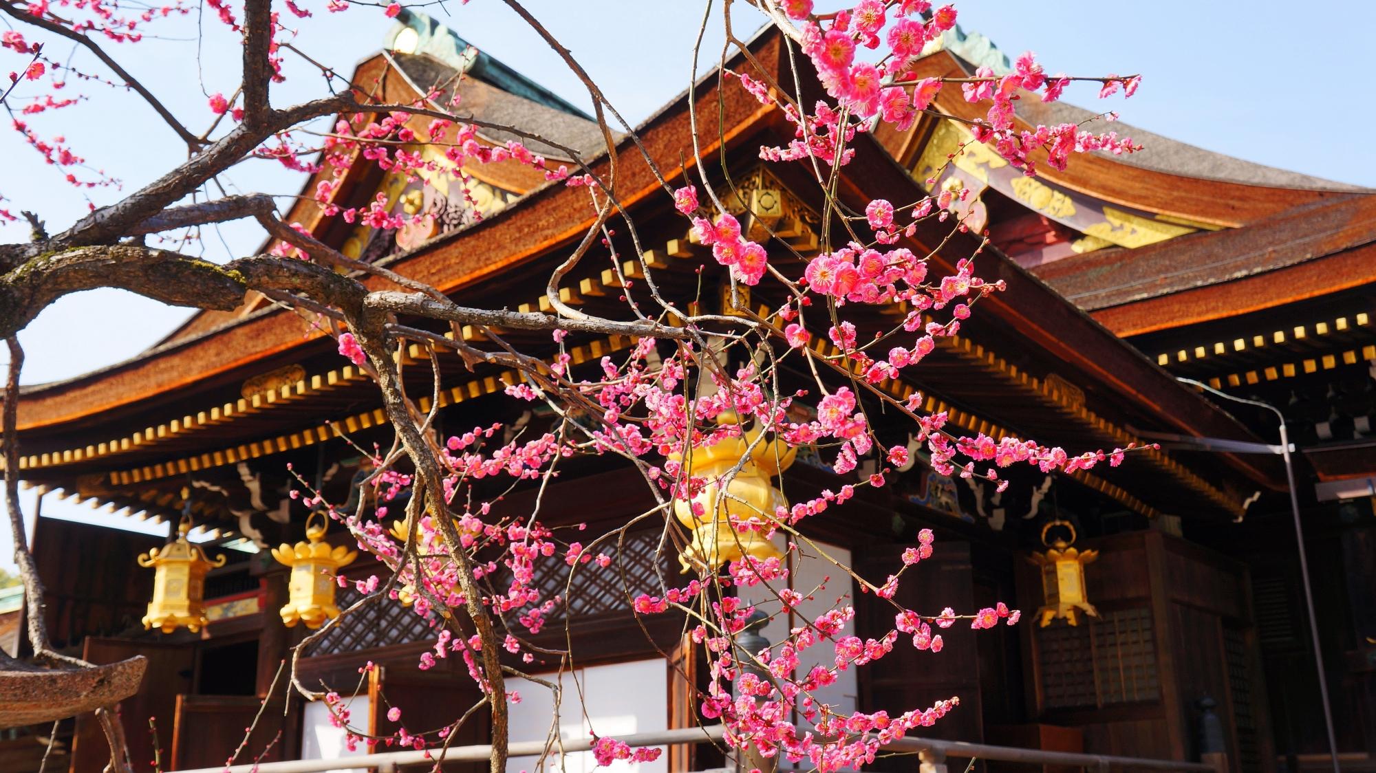 北野天満宮の社殿の東側の梅
