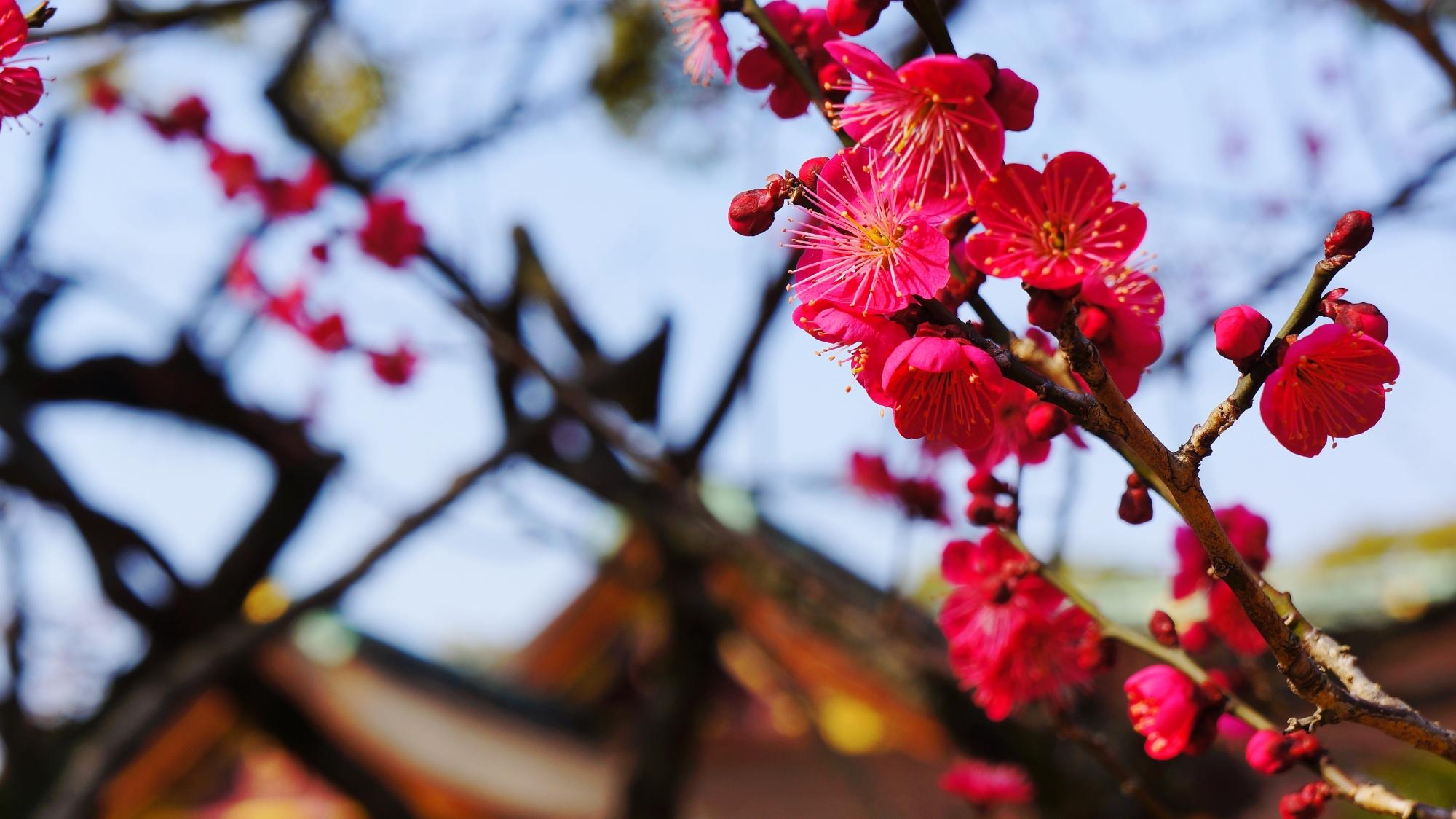 境内を彩る濃い鮮やかなピンクの梅の花