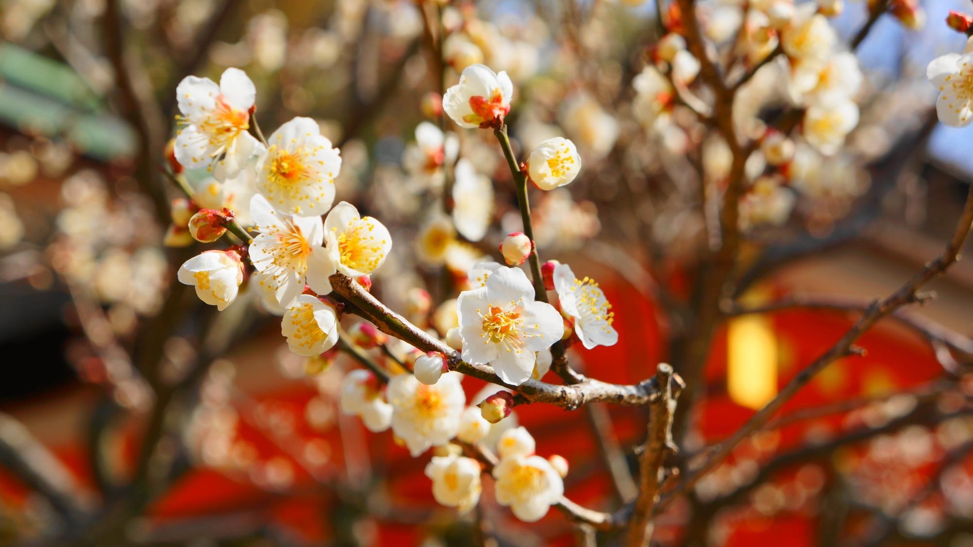 高画質 写真 梅の花 北野天満宮