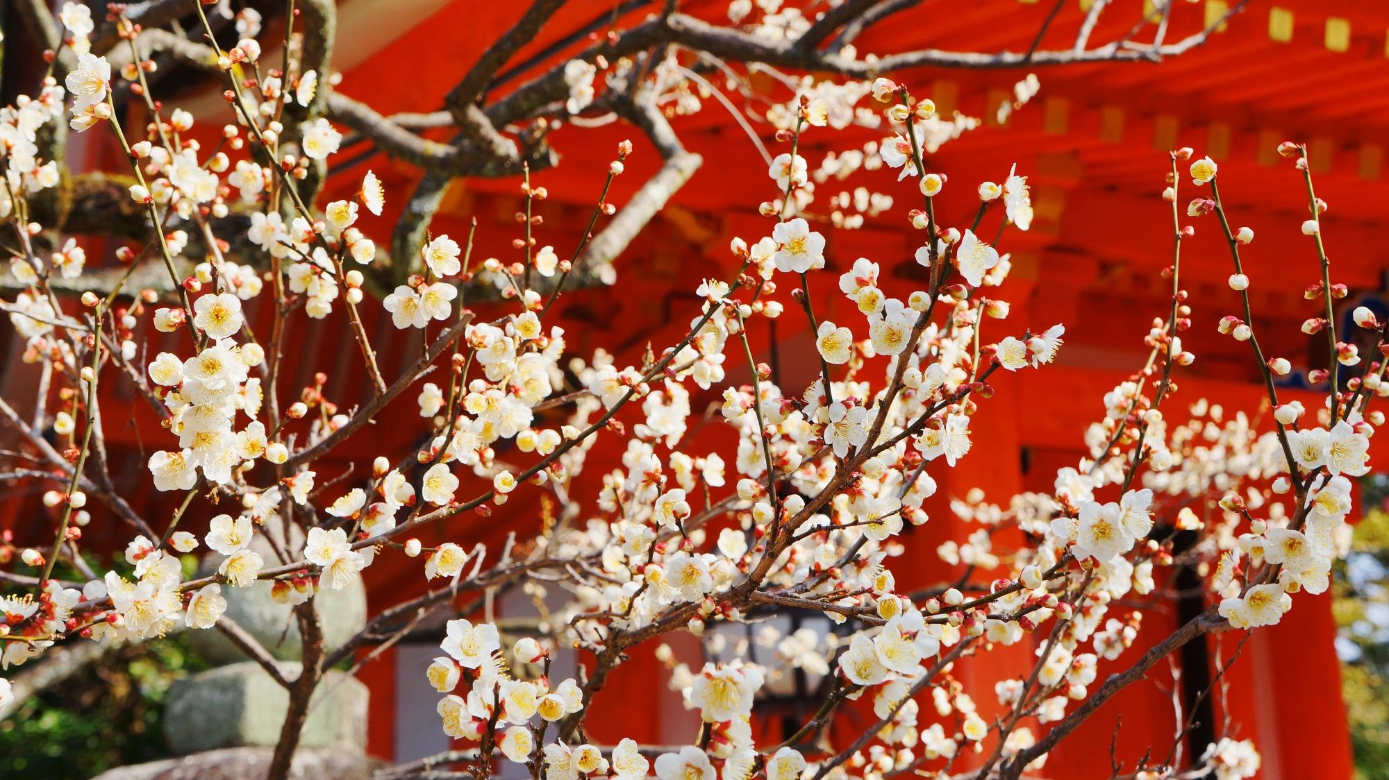 地主社の朱色に映える華やかな白い梅の花