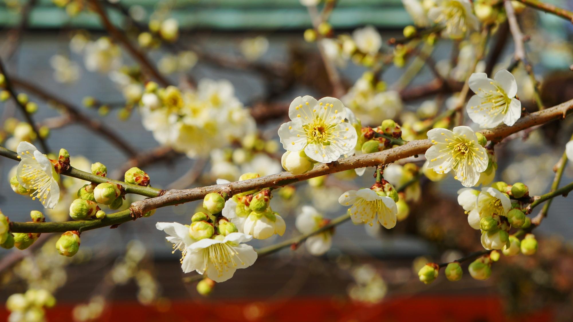 淡く優しい色合いの梅の花