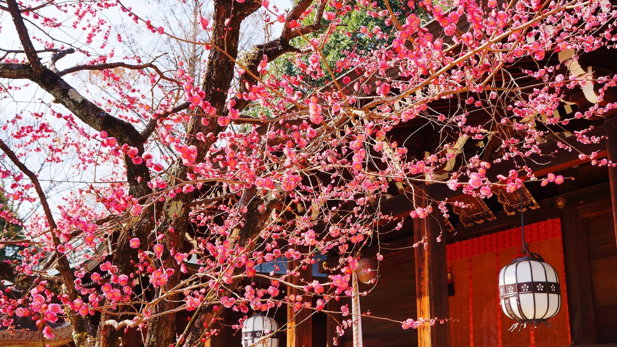 一夜松社を彩るピンクの華やかな梅の花