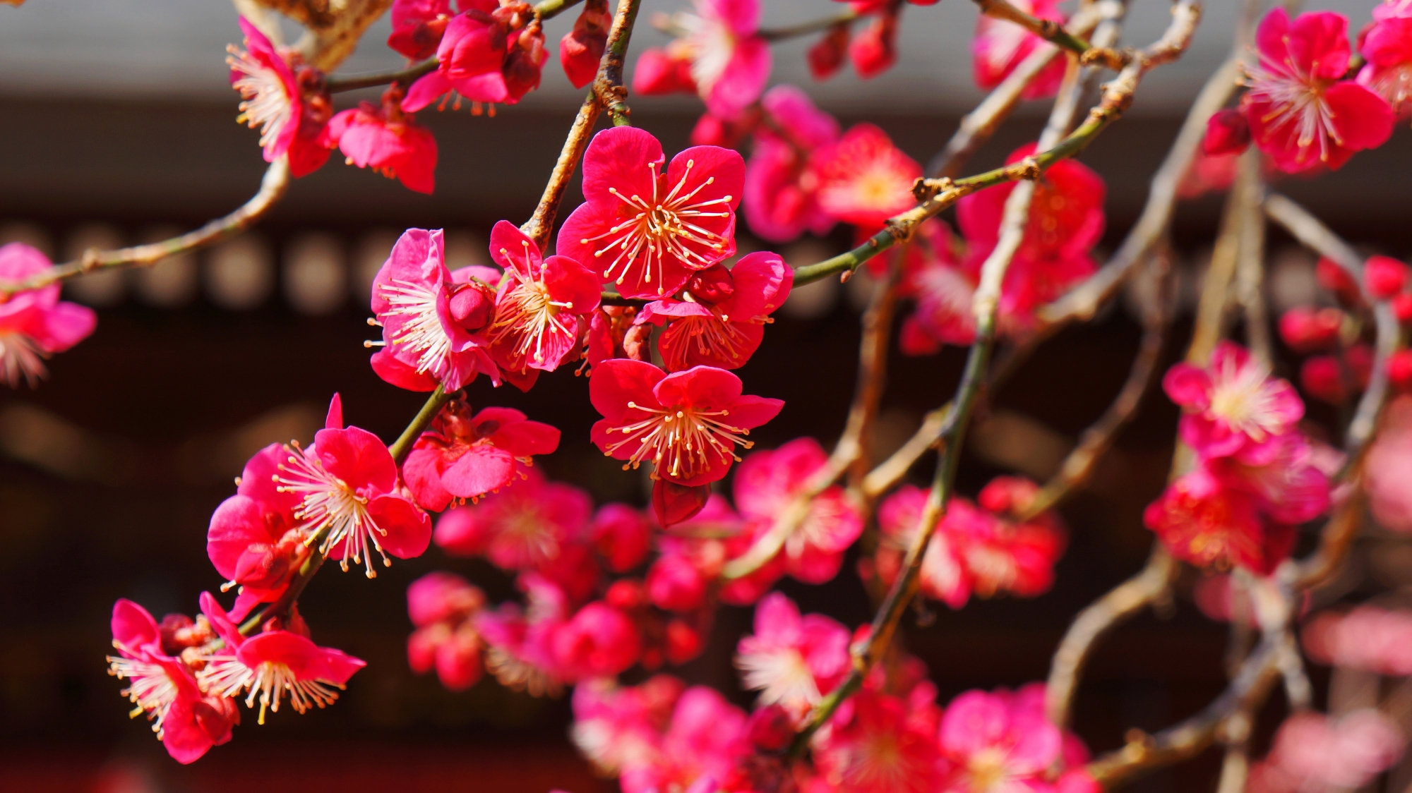 ビビッドな濃いピンクの梅の花