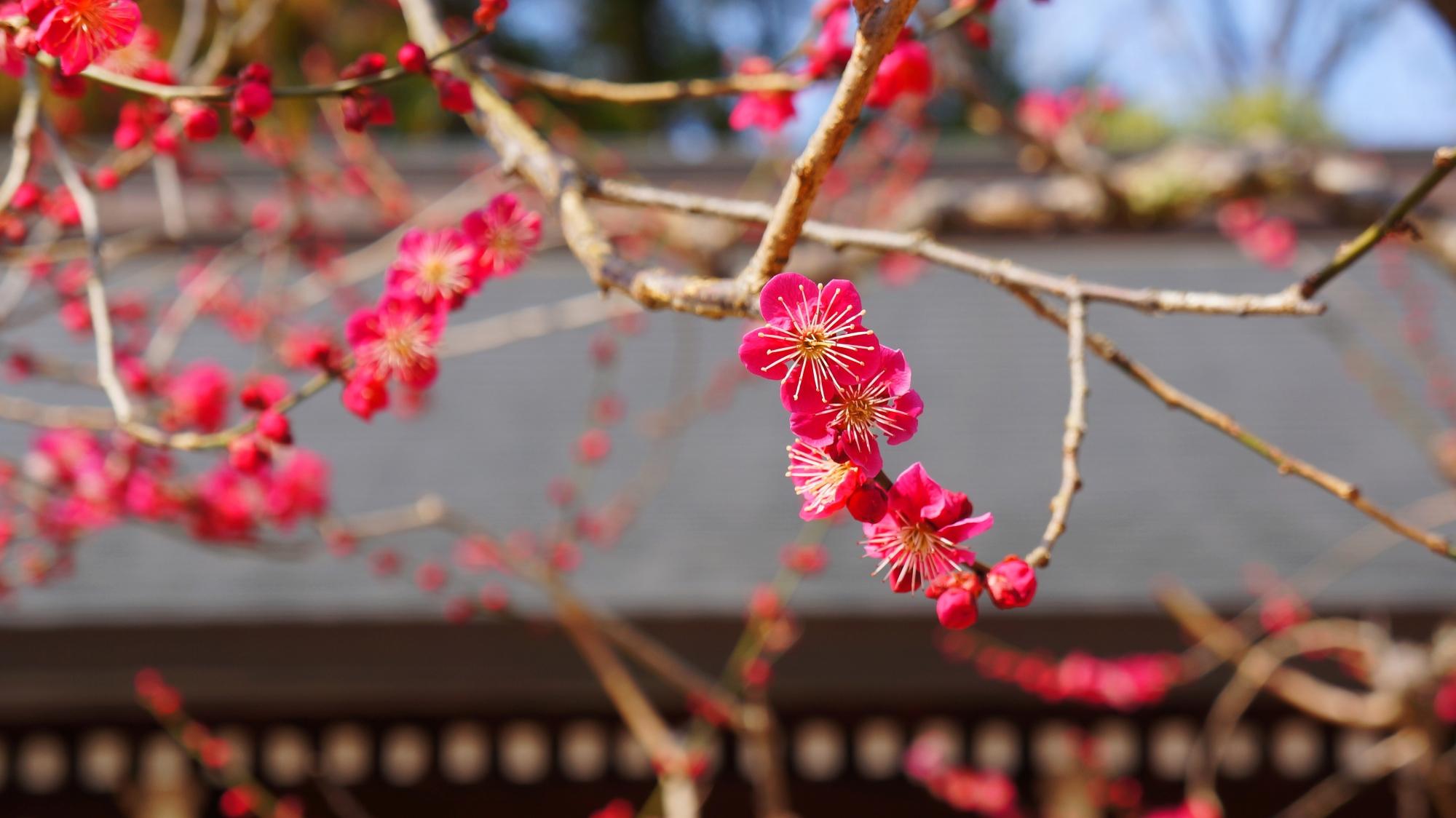 何となく無邪気に咲いているような梅の花