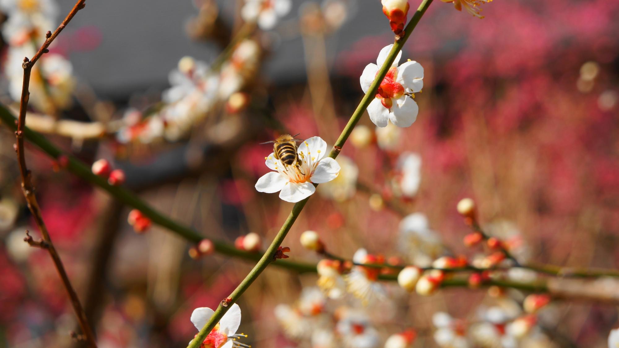 可愛い白い梅の花と蜂さん