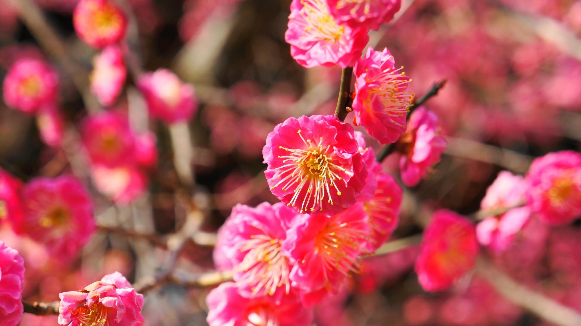 北野天満宮の真っピンクの八重の梅の花