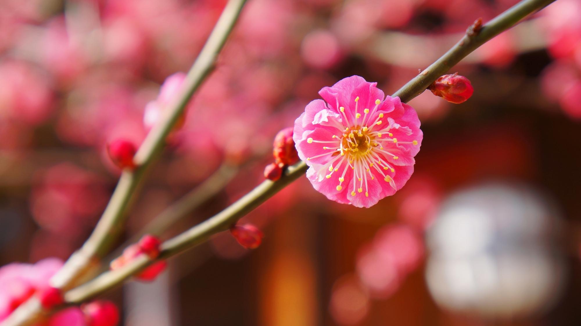 色とりどりの多種多様な梅の花