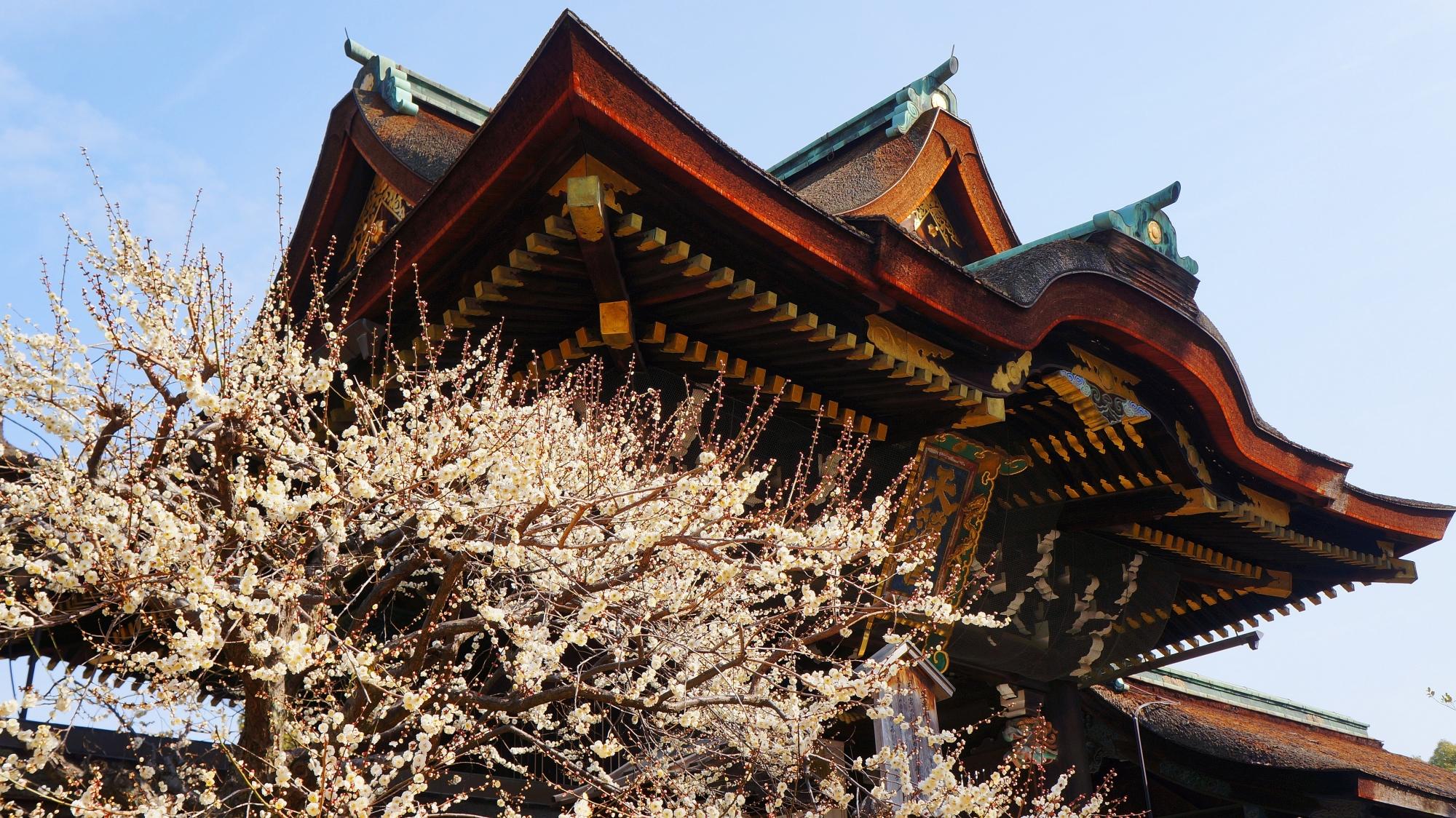 立派な三光門を背景にした華やかな白い梅