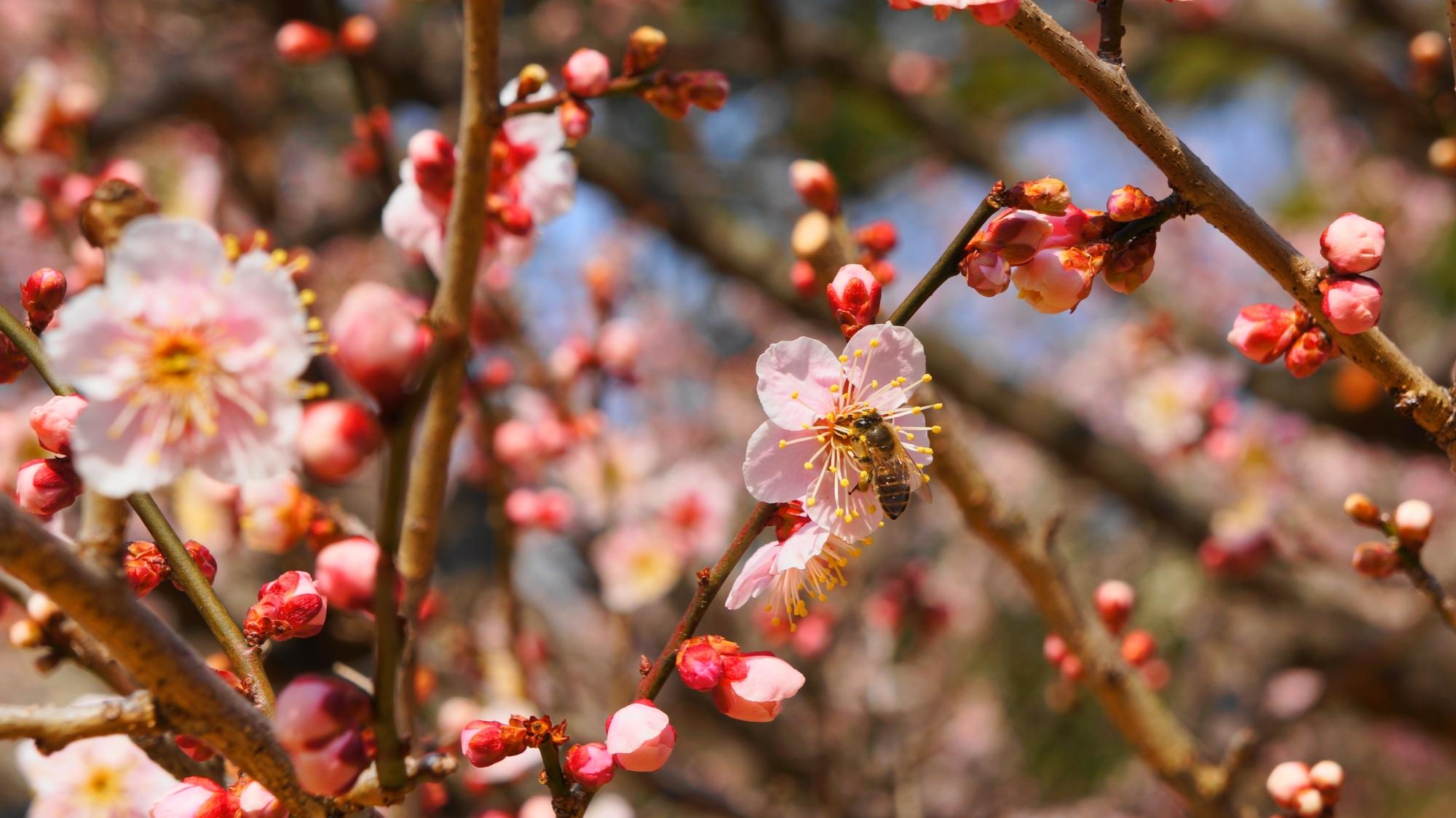 梅の花と蜜が好きな蜂