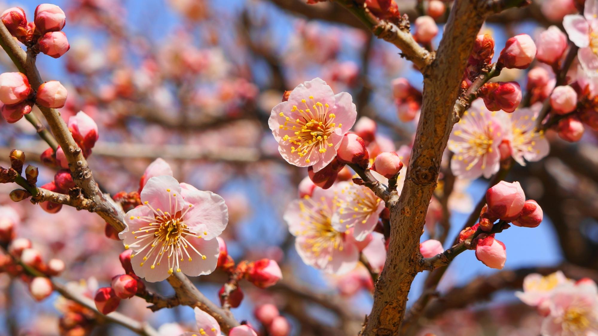 北野天満宮の春先を華やかに彩る綺麗な梅の花
