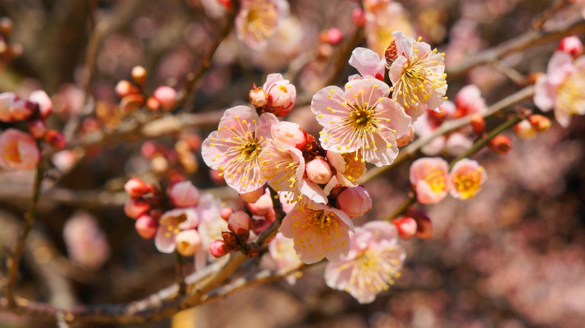 多くの種類の梅があるため見ごろ時期が長い北野天満宮