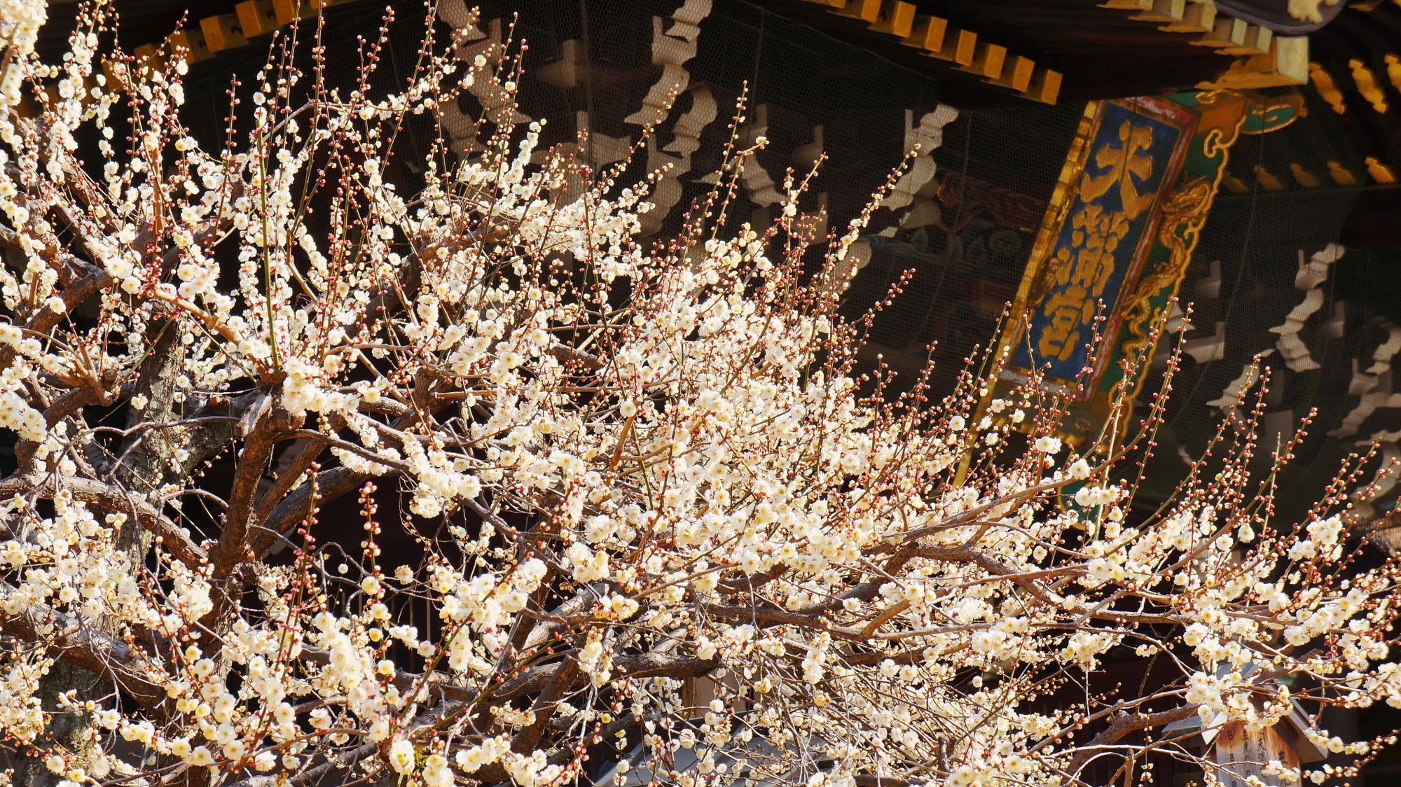 三光門と扁額を背景に豪快に咲き誇る梅