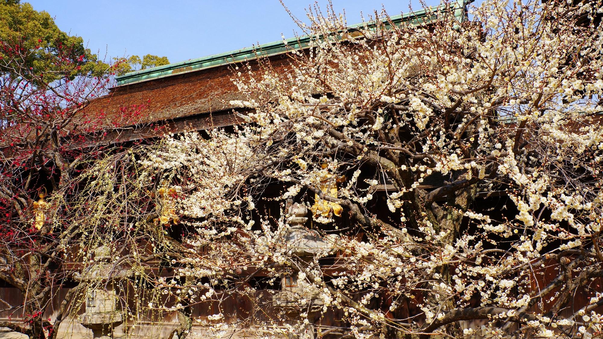 梅の木に囲まれている三光門
