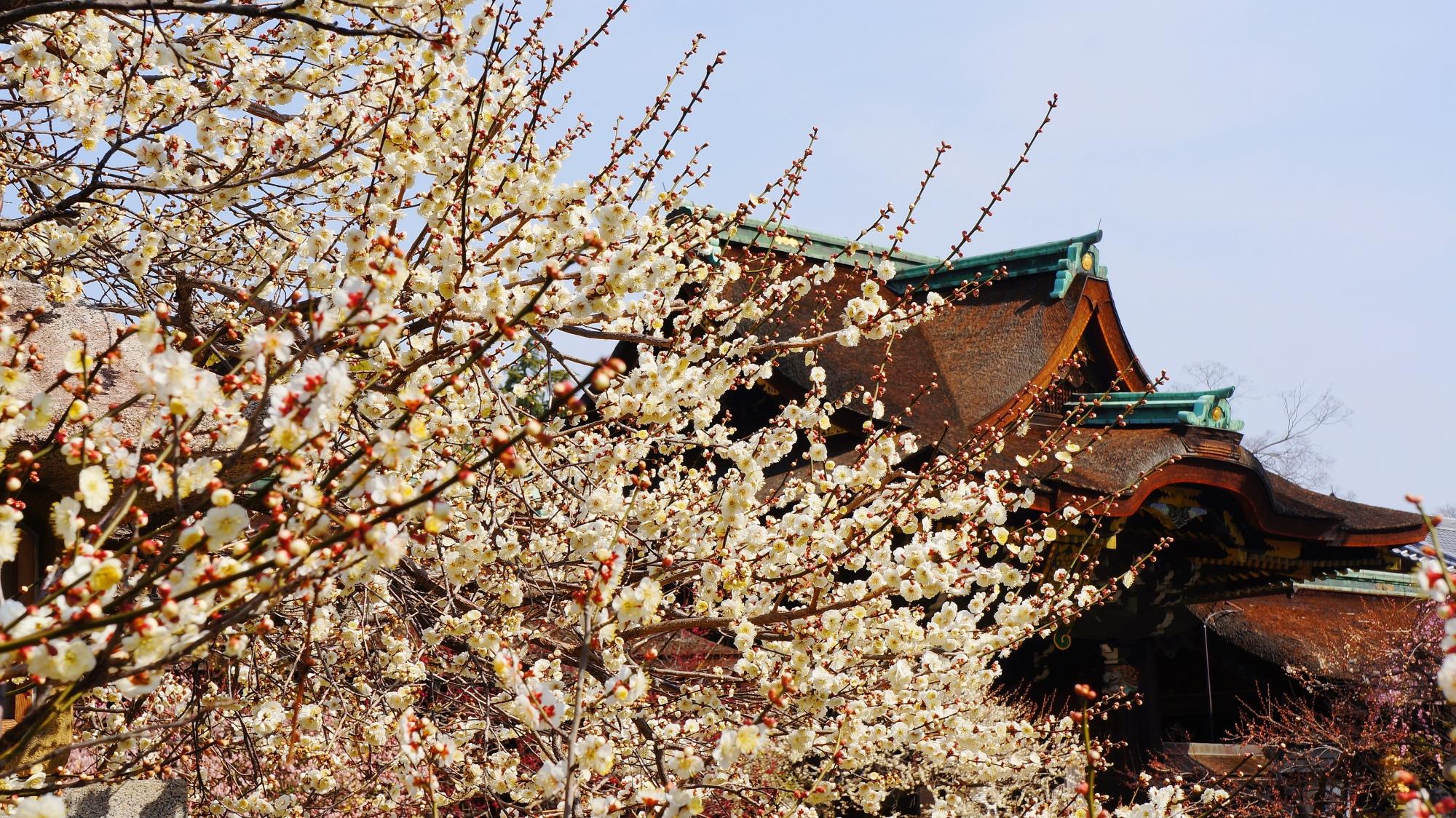 三光門を彩る絵になる満開の梅