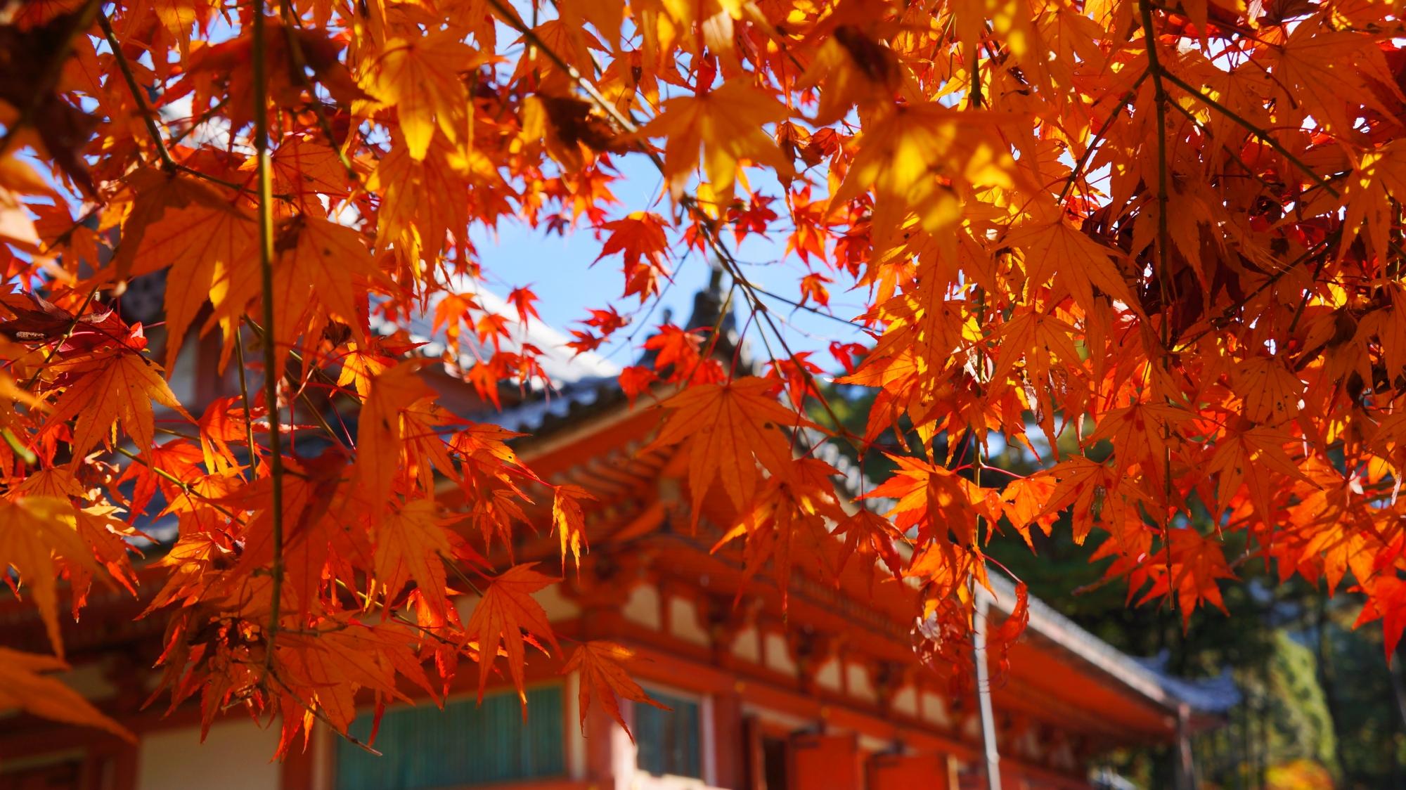 日が当たり華やかに輝く醍醐寺の金堂前の紅葉