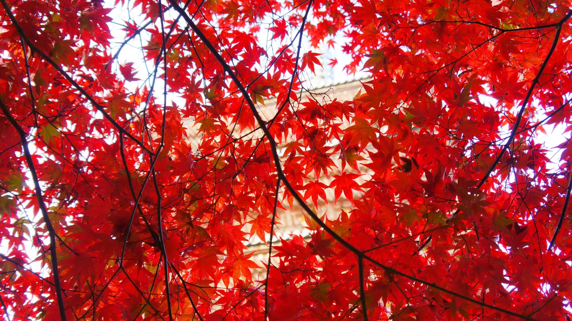 醍醐寺の五重塔を秋色に染める真紅の紅葉