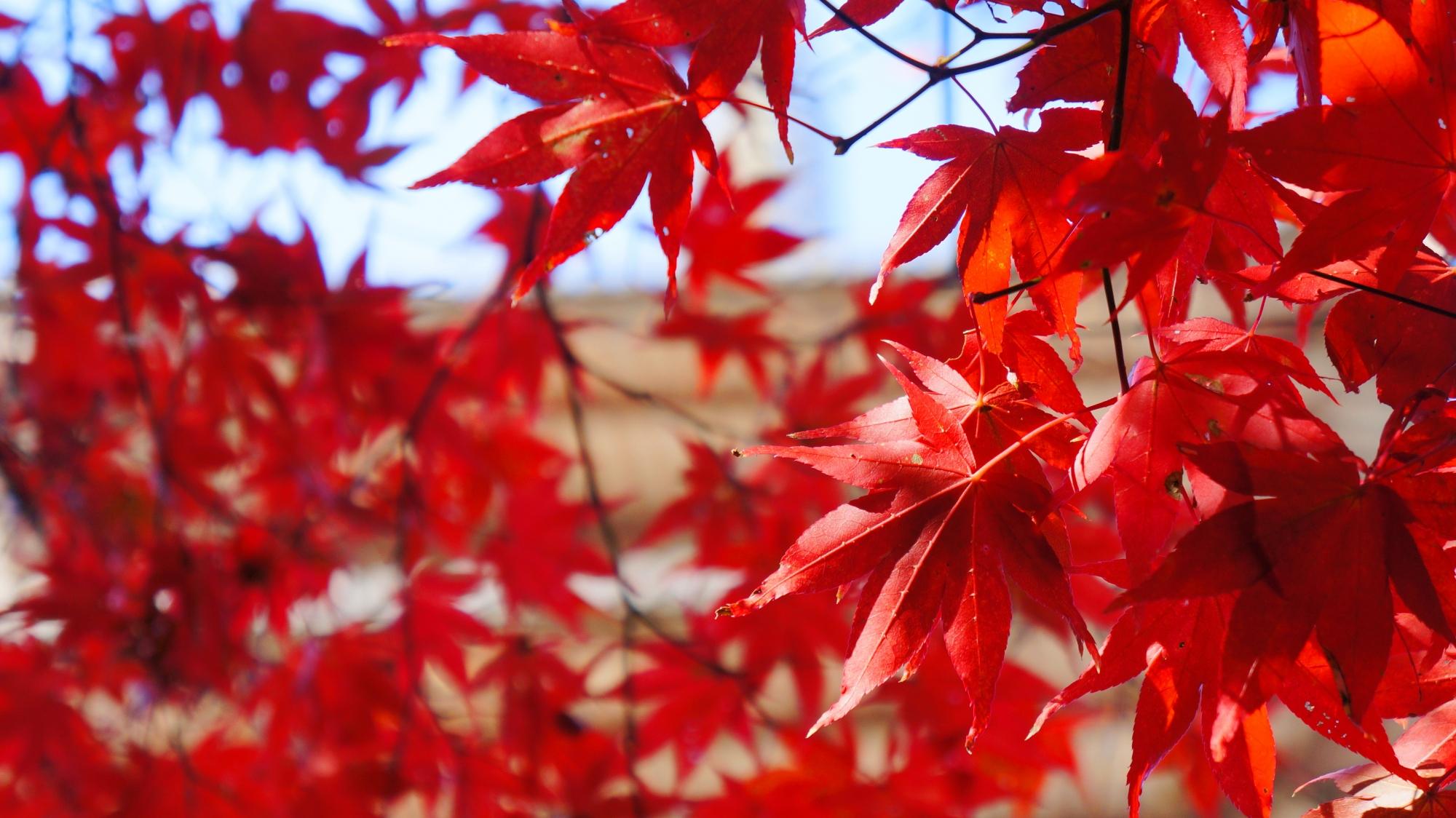 五重塔の下で秋風に揺らめく紅葉