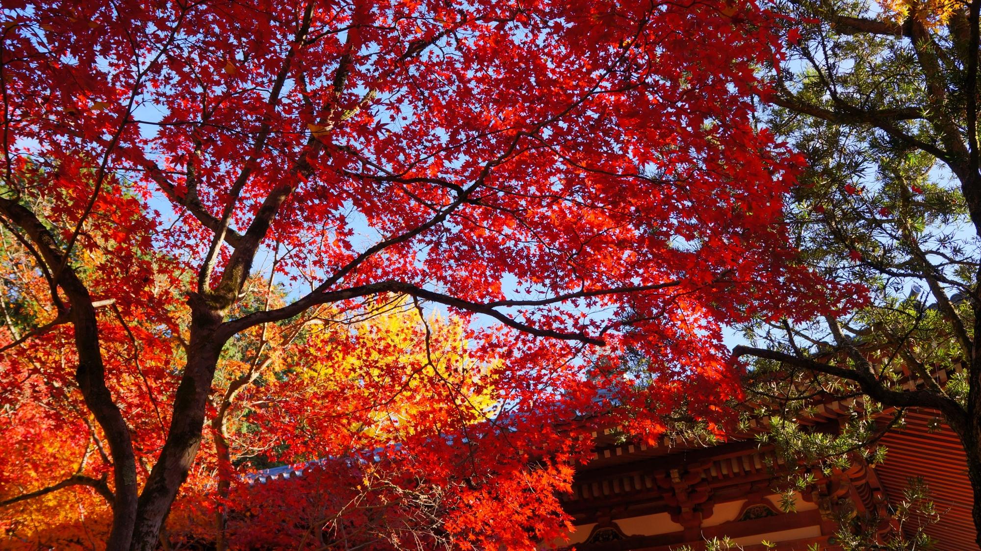 青空と観音堂を彩る真っ赤な紅葉