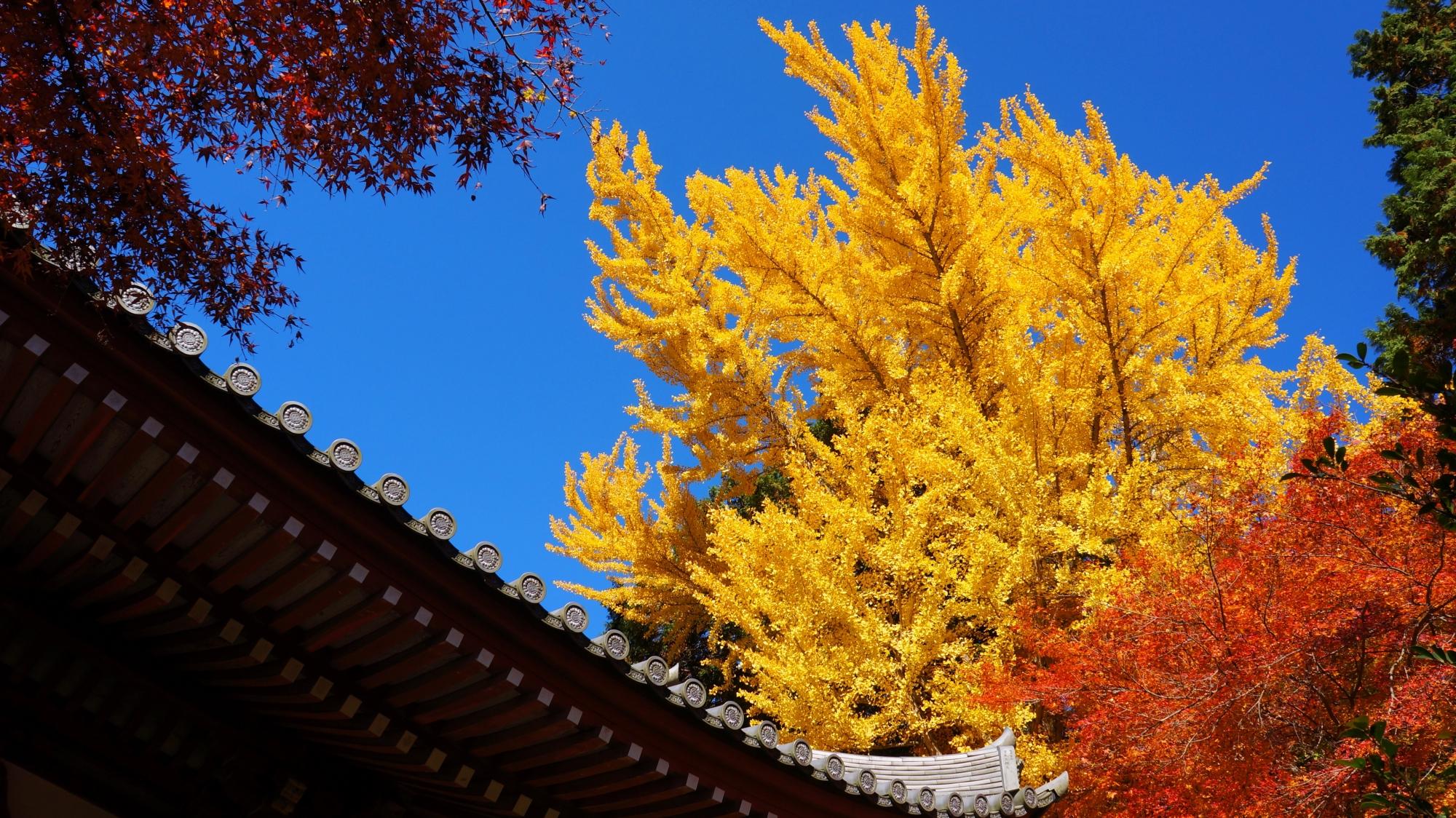 青空の下で黄色く輝く観音堂横の見事な銀杏