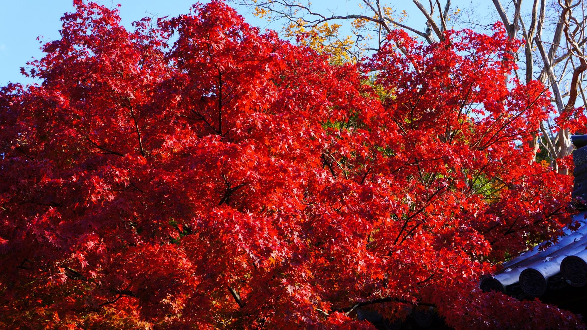 天授庵の弾ける燃えるような真っ赤な紅葉