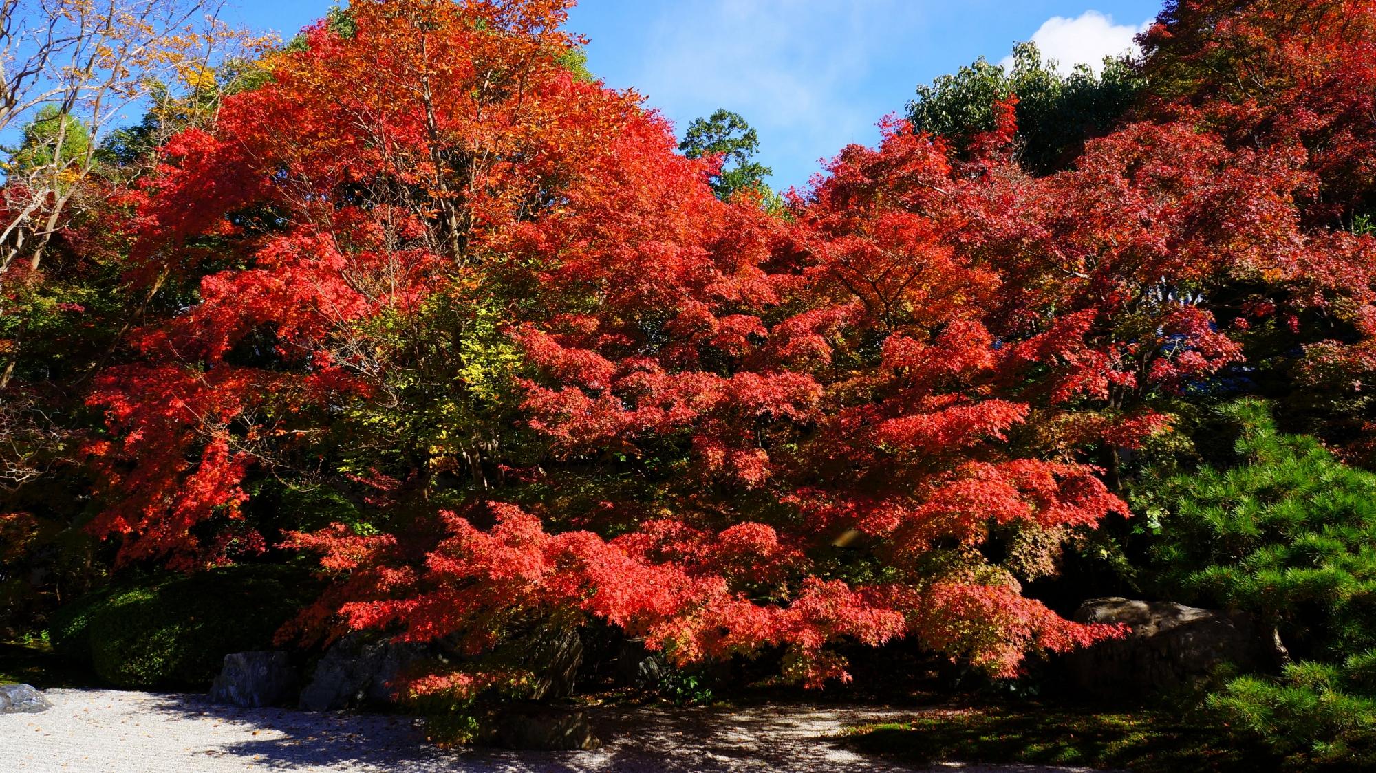 白砂や緑を彩る炎のような赤い紅葉