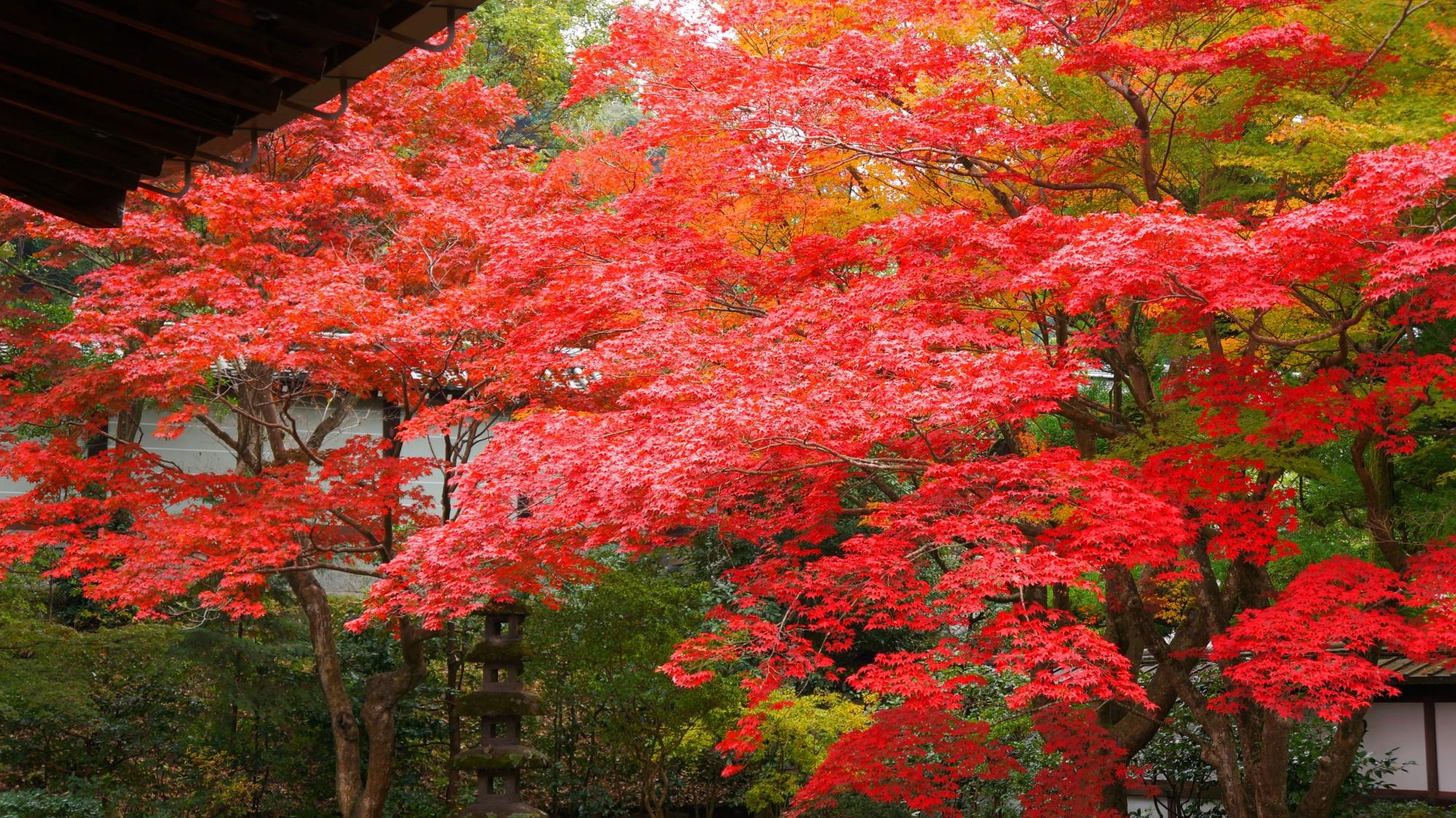 真っ赤に色づく泉涌寺の庭園