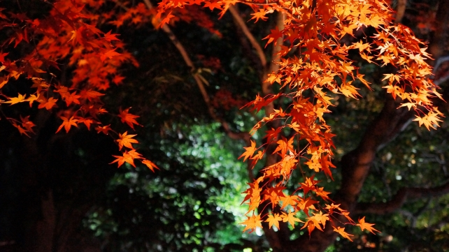 Kyoto Entokuin-Temple colored leaves ライトアップ 秋 北庭 圓徳院