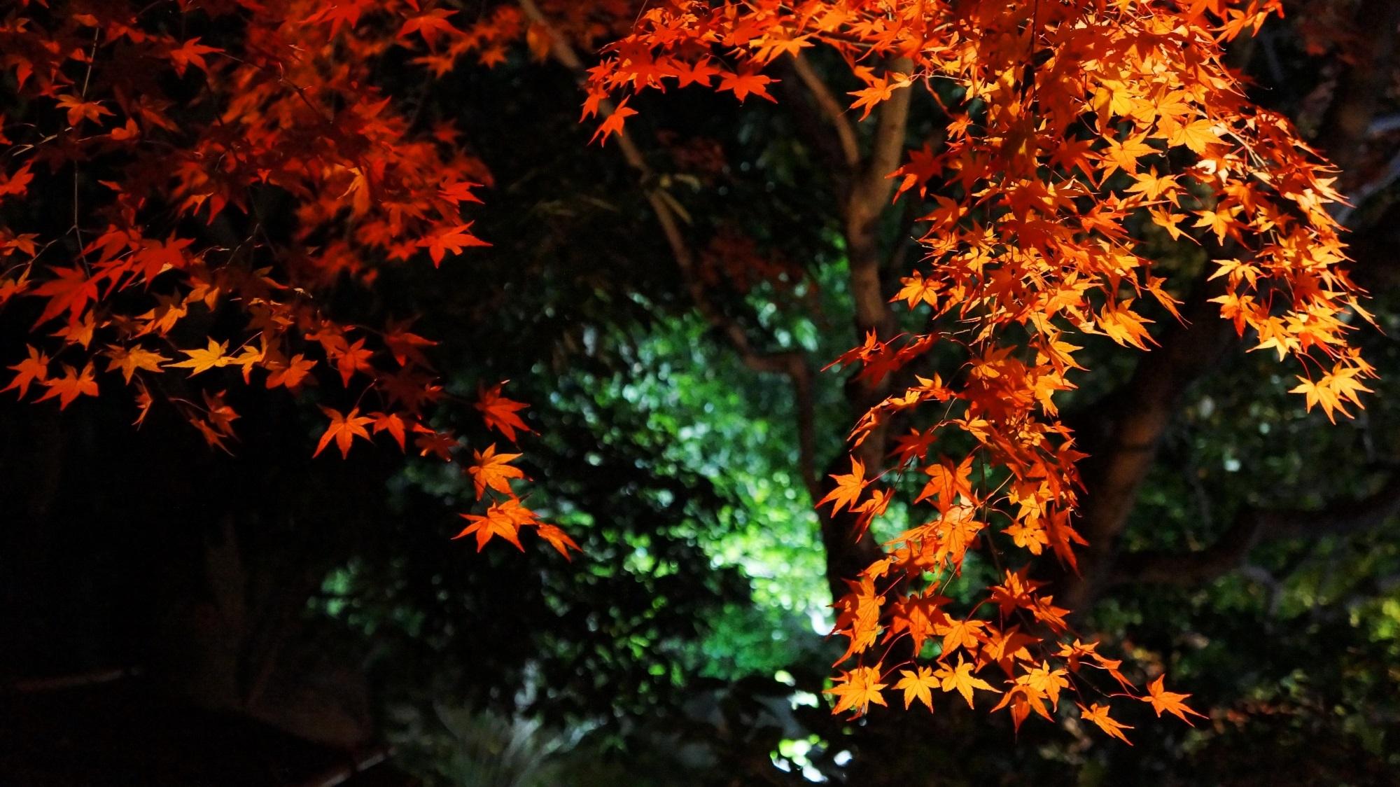 高台寺 圓徳院 紅葉 ライトアップ 艶やかな秋の彩り