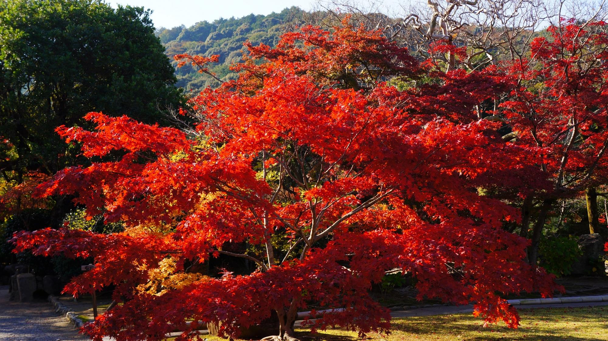 勧修寺の見ごろの紅葉