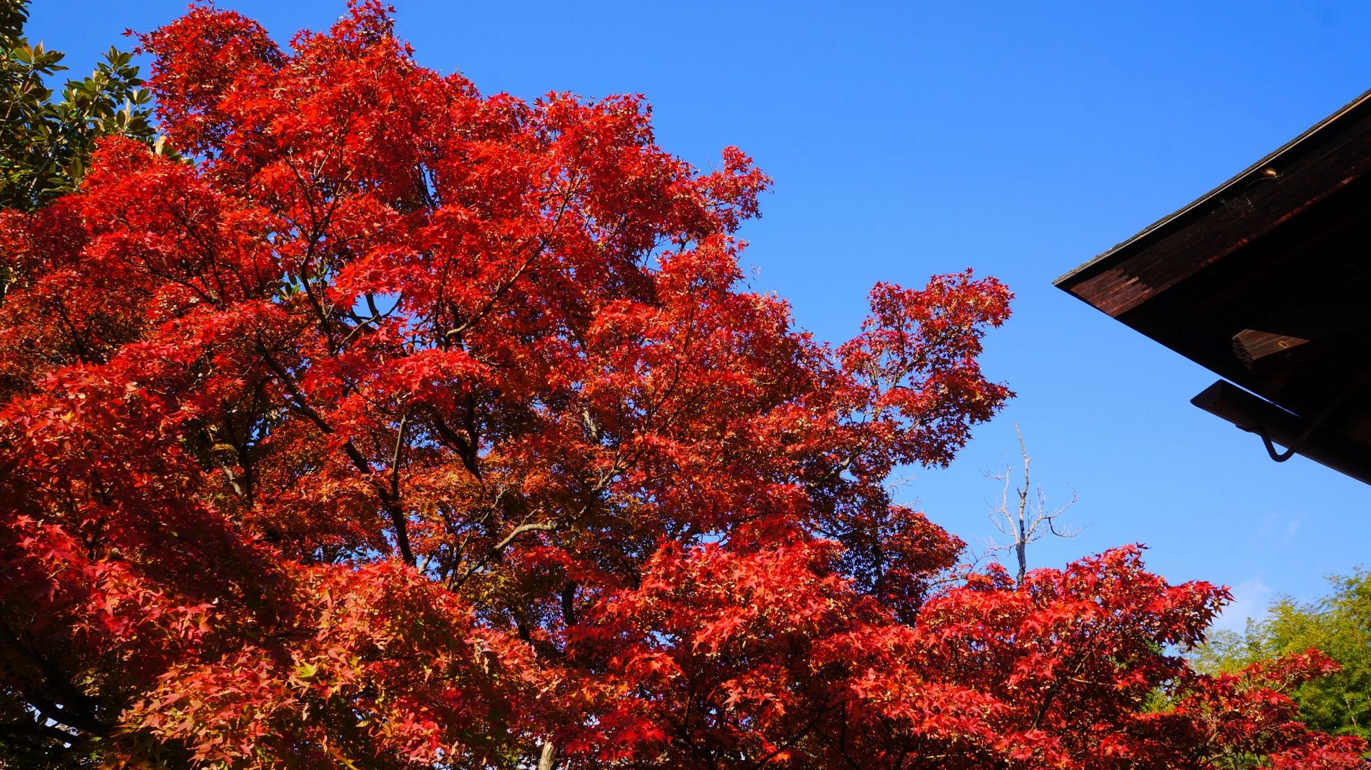 青空を赤く染める見事な紅葉