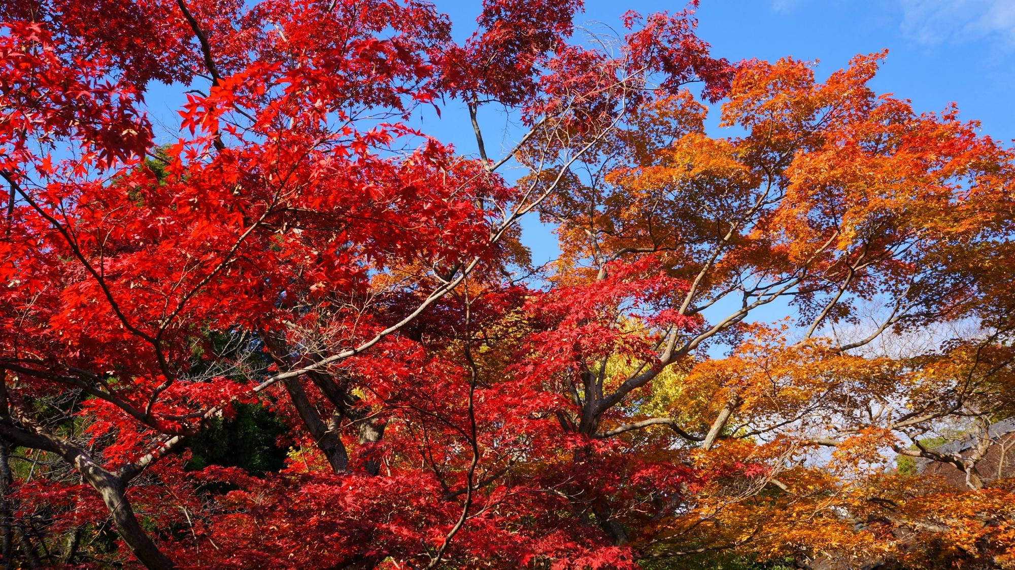青空を彩る華やかな紅葉