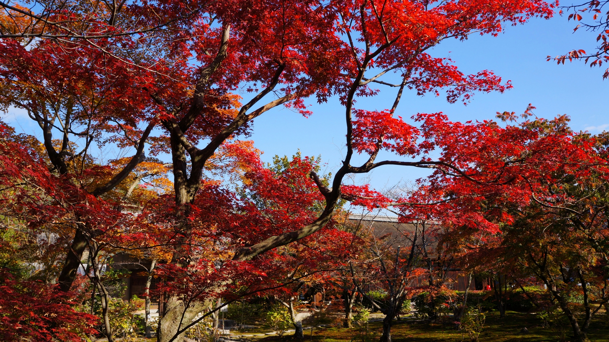 勧修寺の青空に映える素晴らしい紅葉