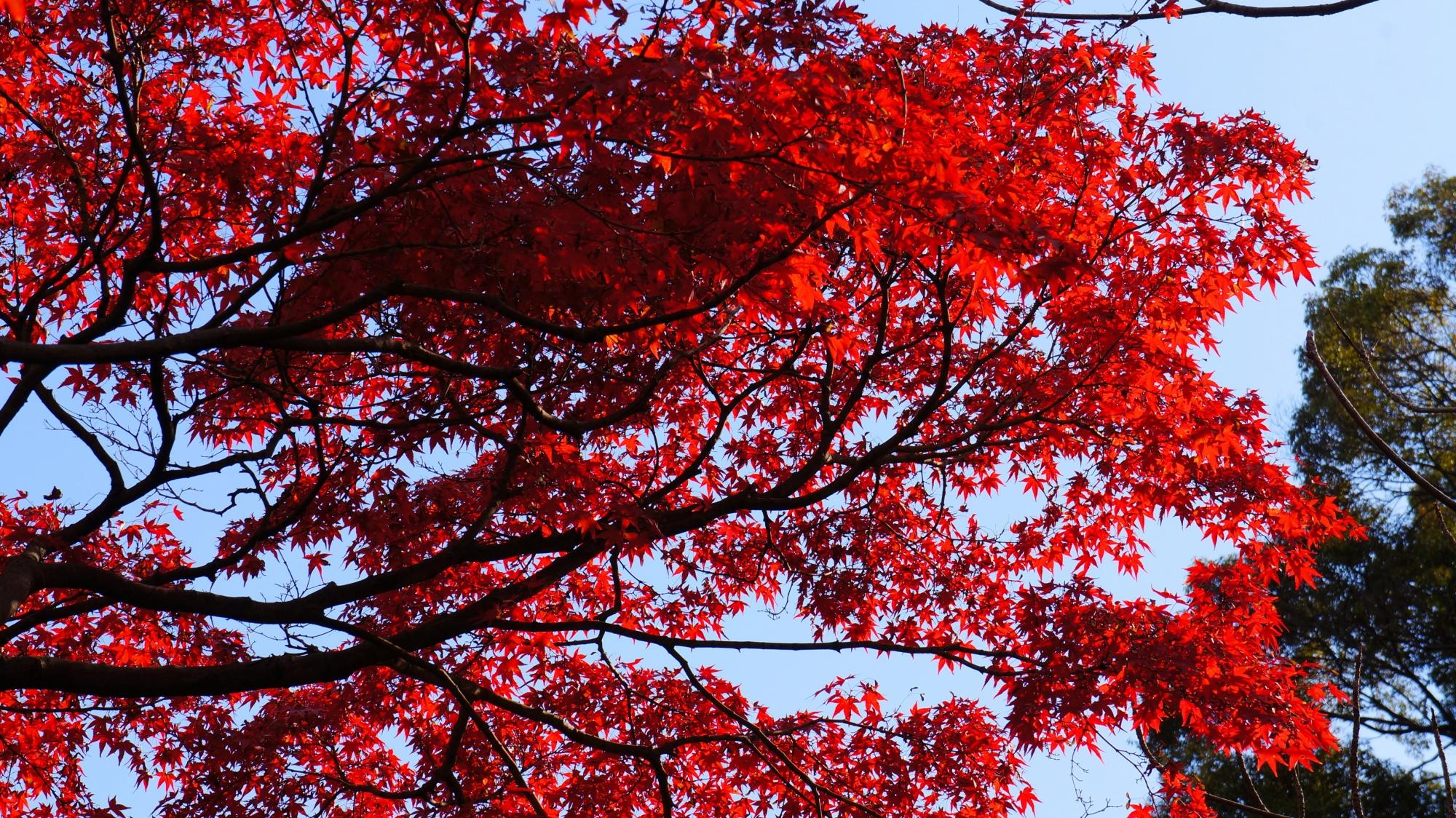 勧修寺の鮮烈な赤さの紅葉