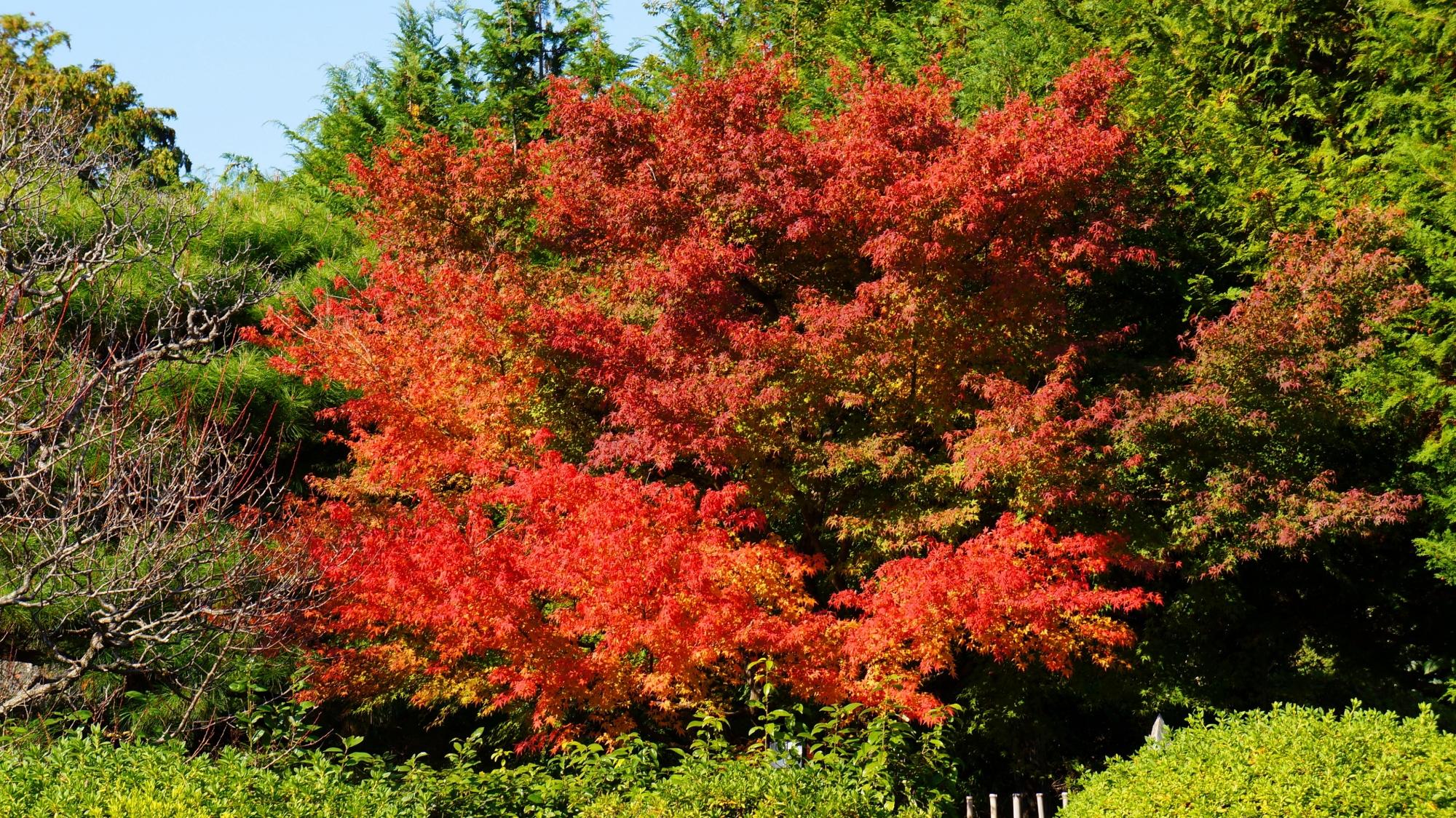 日が当たり輝く燃えるような鮮やかな紅葉