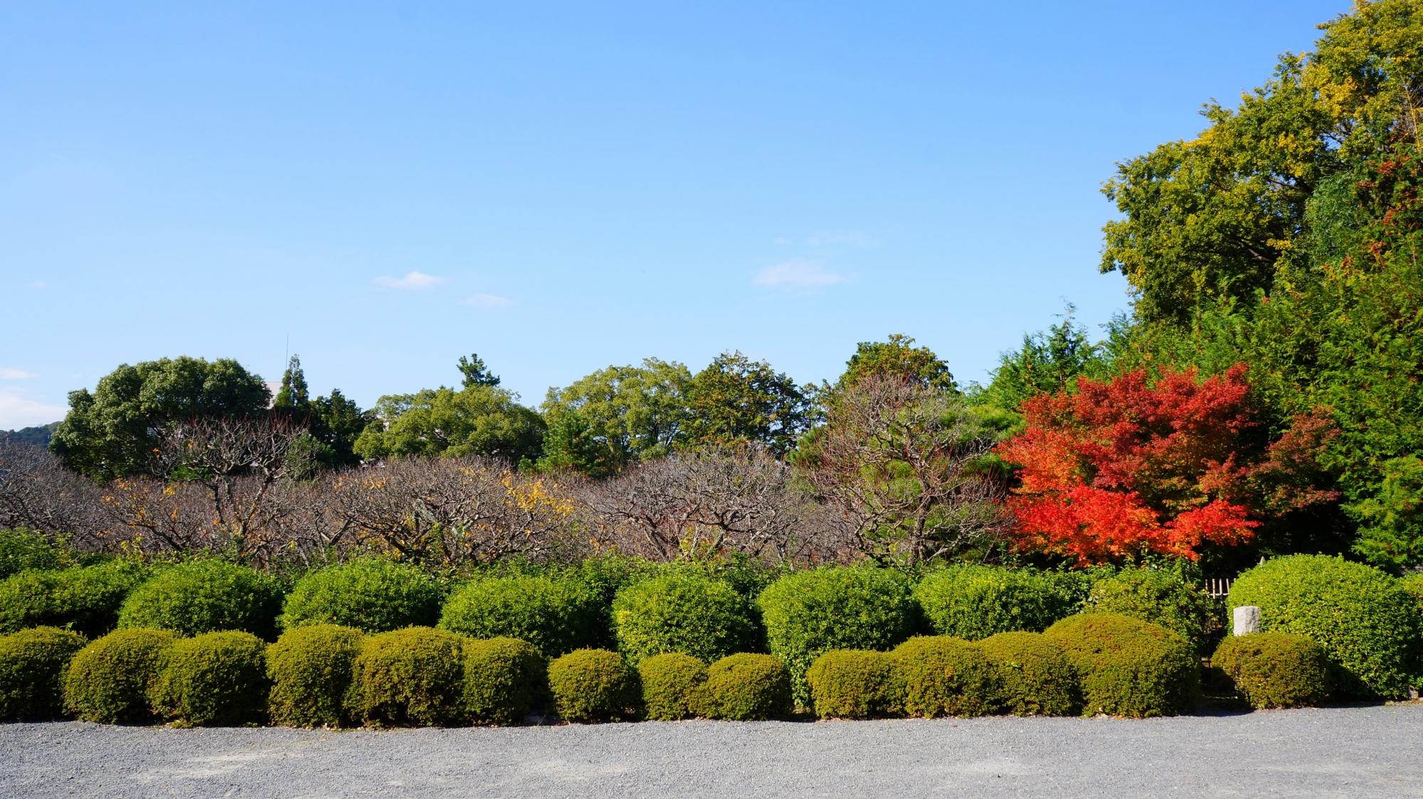 随心院の小野梅園の緑の中で色づく圧倒的な存在感の紅葉
