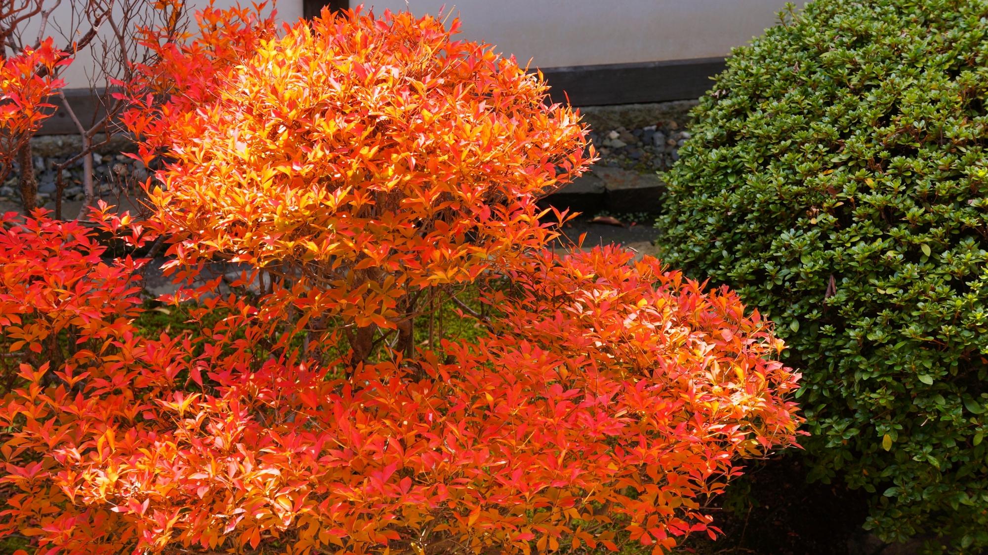 見事な発色の煌くオレンジ色のツツジ