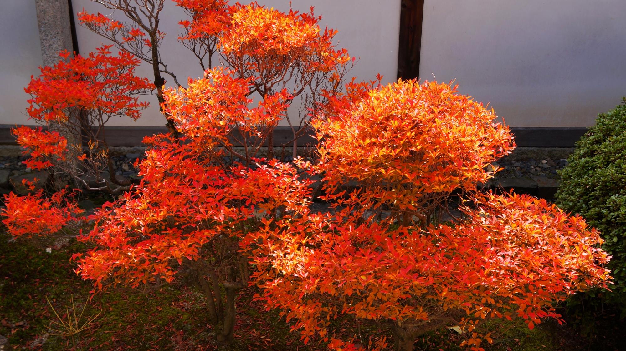 随心院の玄関付近のツツジの紅葉