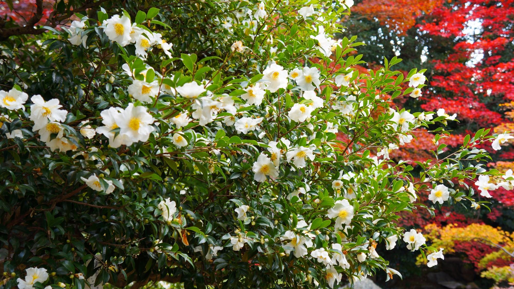 鮮やかな紅葉と華やかな白い山茶花