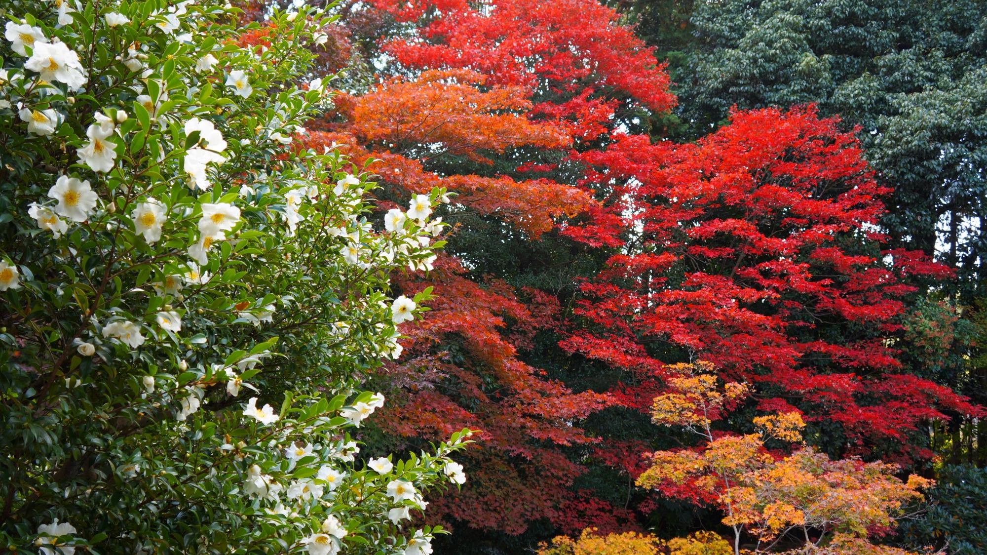 随心院の本堂横の山茶花(サザンカ)
