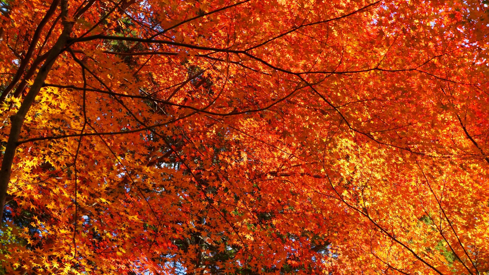 空をつつむ鮮やかに輝く紅葉