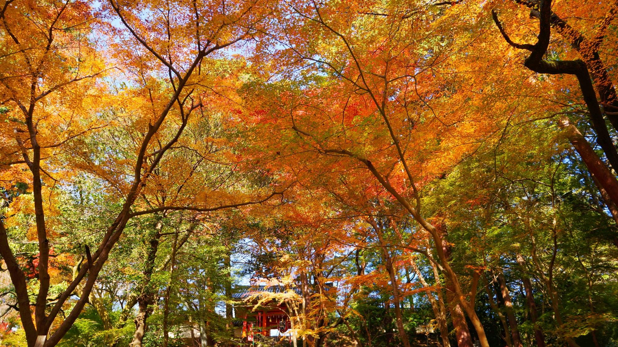 毘沙門堂の仁王門付近の太陽を浴びて煌く紅葉