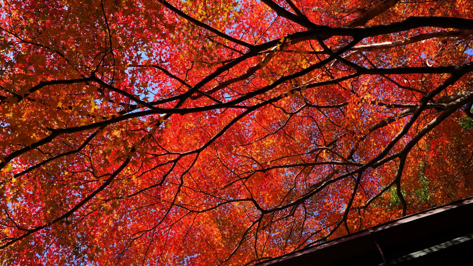 日を浴びて輝く煌びやかな赤い紅葉