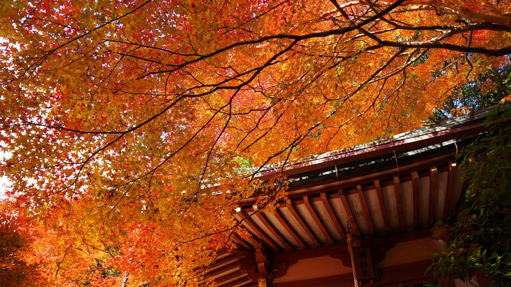 毘沙門堂のオレンジ色の煌く紅葉