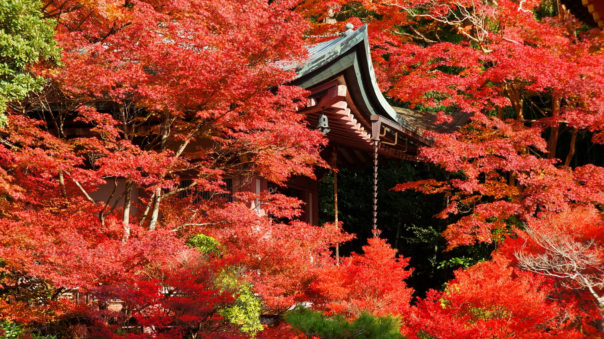 弁天堂を染める豪快に色づく紅葉