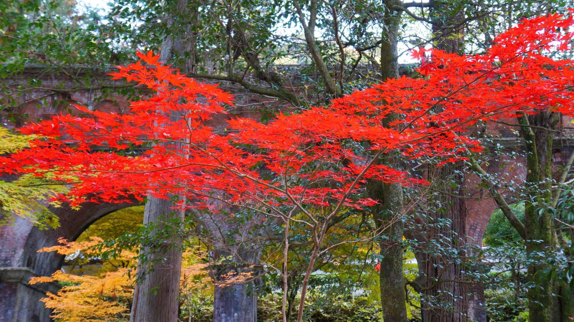 目を引く艶やかな赤い紅葉