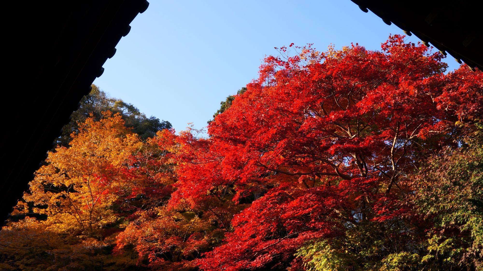 実相院の床紅葉前の真っ赤な紅葉