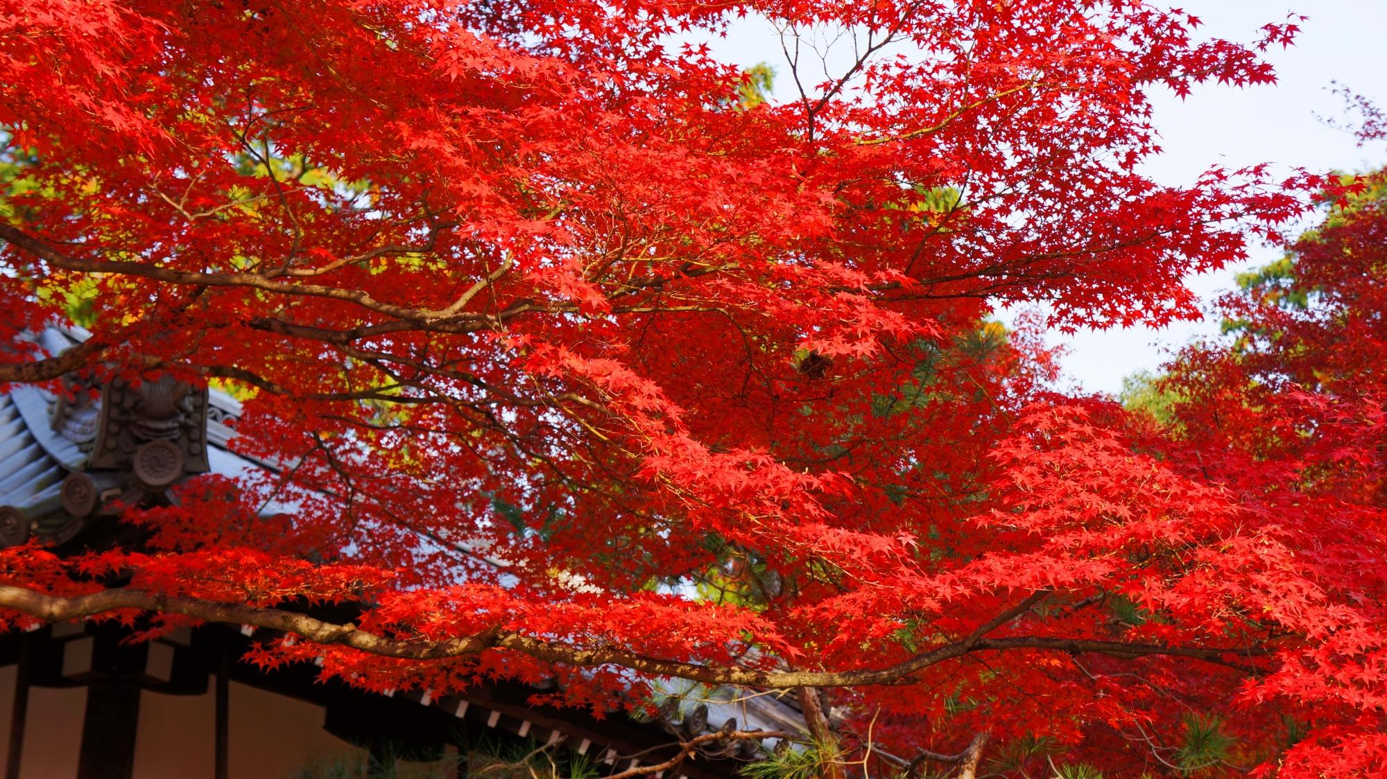 真如堂の茶所(善光寺如来)前の真っ赤に色づく紅葉