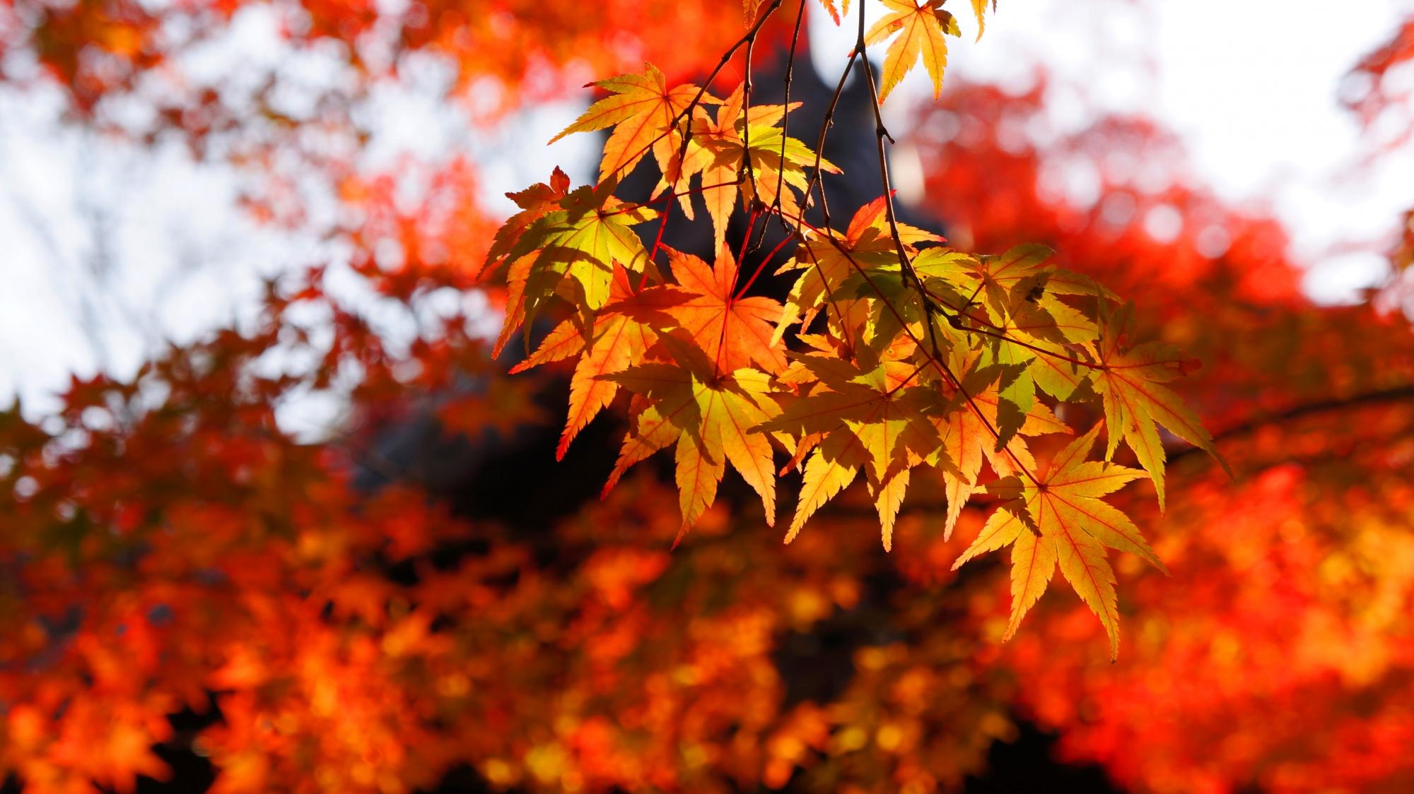 日を浴びて透ける風情ある紅葉