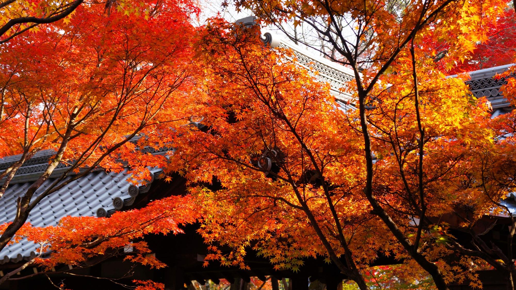 太陽を浴びて煌く見事な紅葉