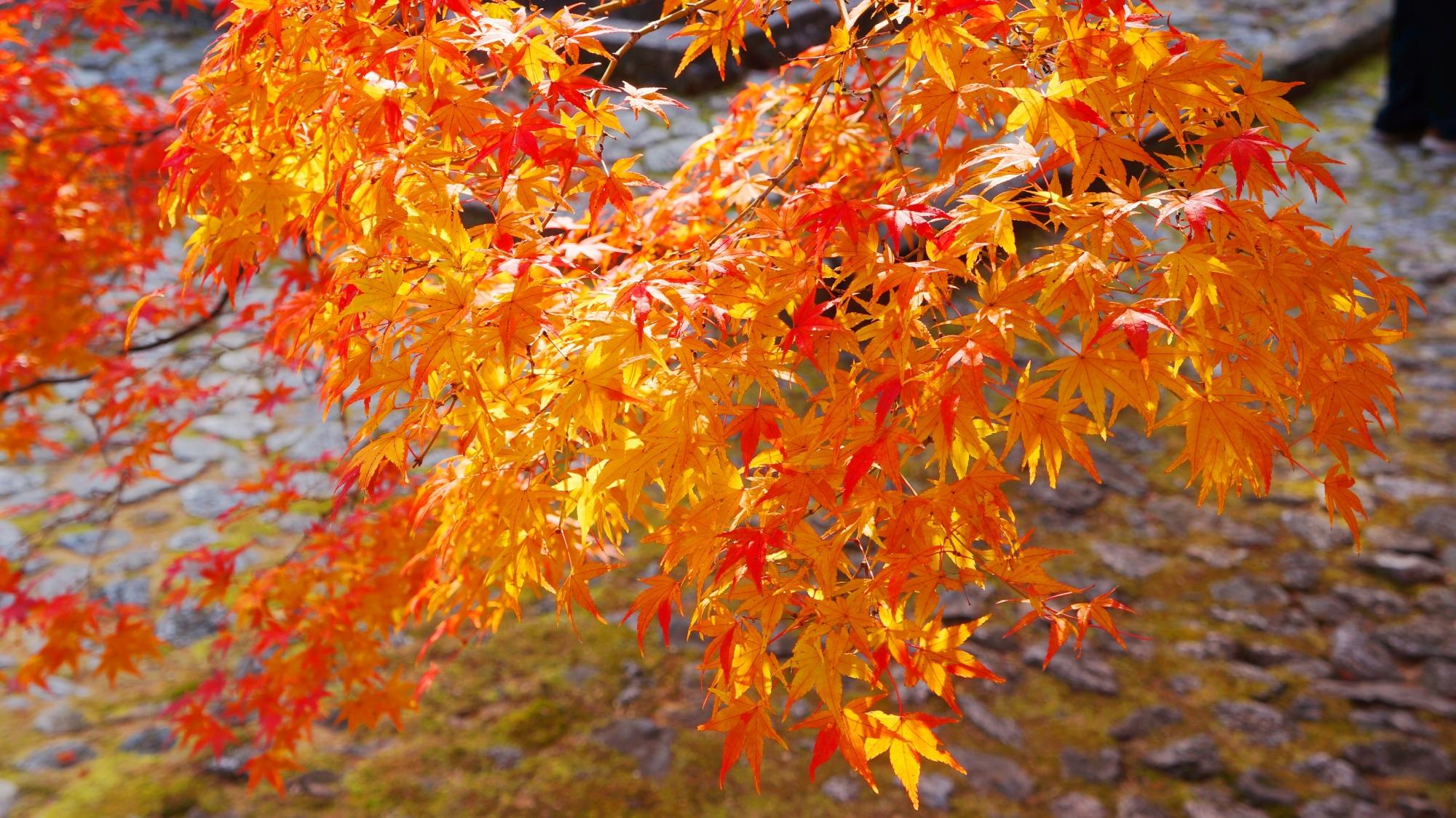 見下ろす煌びやかな紅葉